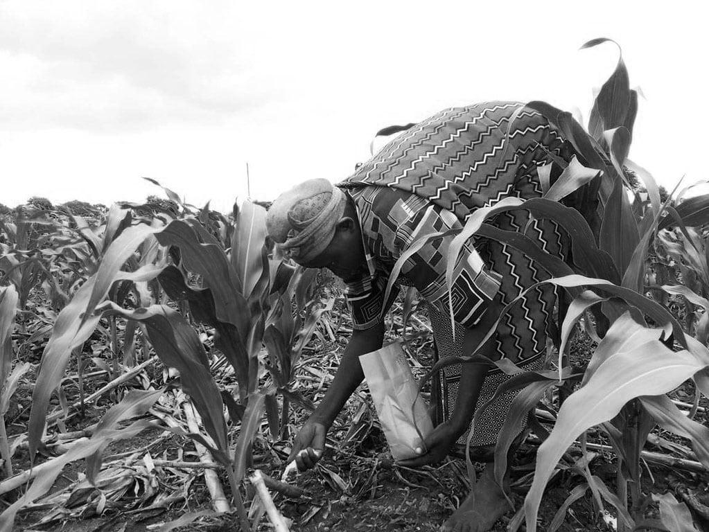 Woman farmer in Tanzania applying fertilizer on maize
