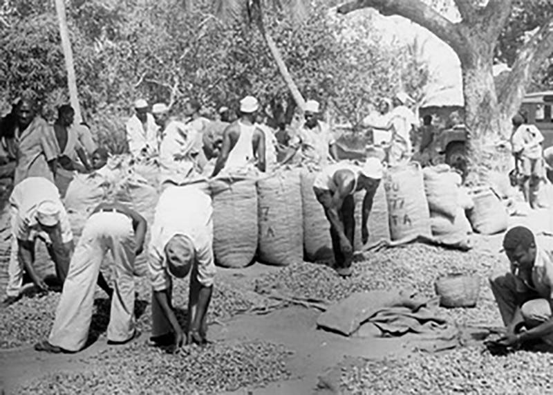 Ujamaa villagers gathering their harvest