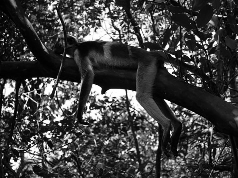 Colobuse monkey resting on a tree at Jozani Chwaka Bay National Park