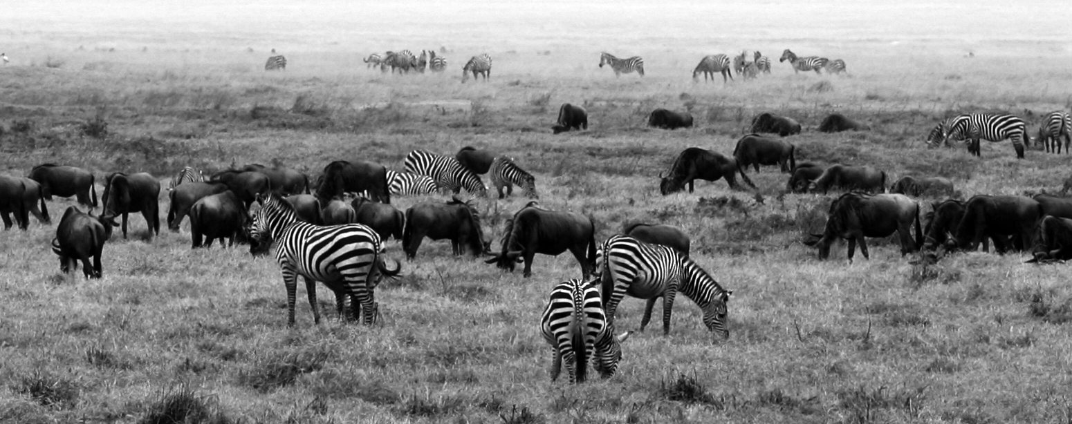 The herd of Zebra and Wildebeest grazing at the Ngorongoro Conservation Area