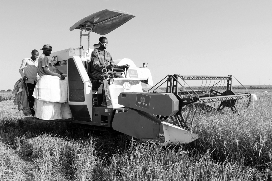 Farmers harversting rice in Igunga, Tabora