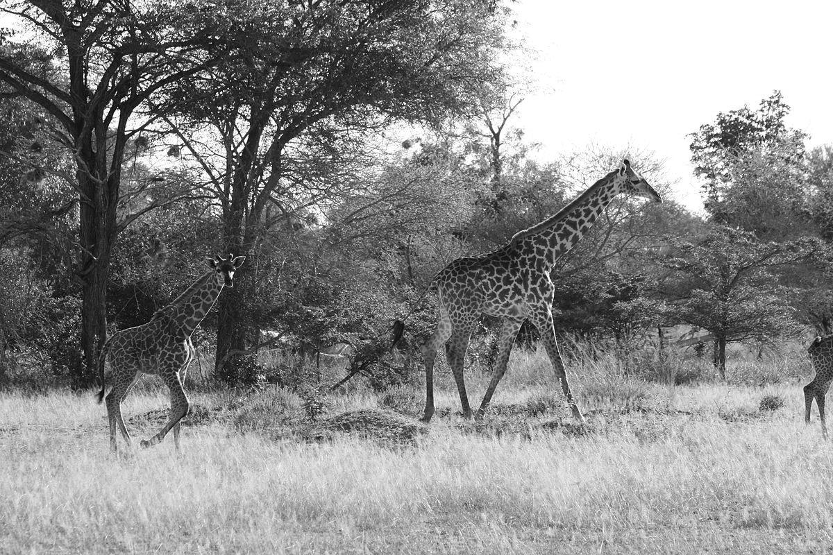Giraffes walking around Miombo woodlands