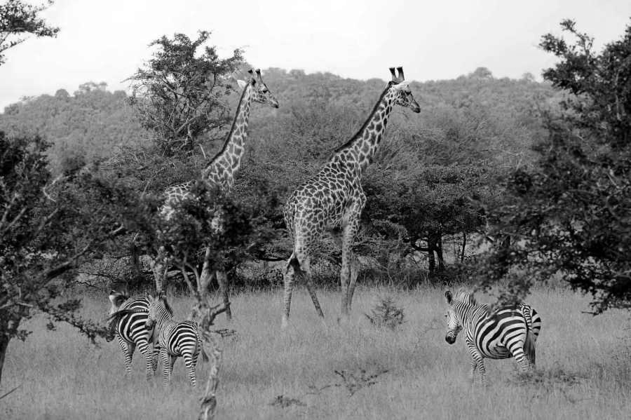 Giraffes and Zebras at the Nyerere National Park